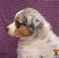 australian shepherd in california australian shepherd puppies for sale in california