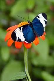 25 blue butterfly ideas beautiful butterflies