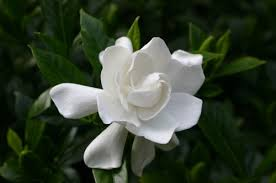 Gardenia Flower The Gardenia Is The Luscious Forever Favorite For Bridal Bouquets