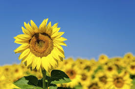 will sunflowers give you allergies livestrong com