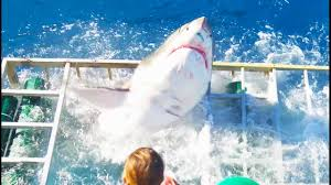 great white shark cage breach accident youtube