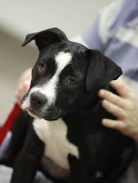 american pit bull terrier lab mix second chance dogs seek loving homes press releases collier