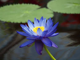 Blue Lotus Flower Meaning - 57 best blue lotus images on pinterest healing crystals gem