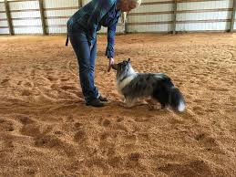 australian shepherd uses ask a dog trainer 6 clever uses for your dog u0027s hand touch cue