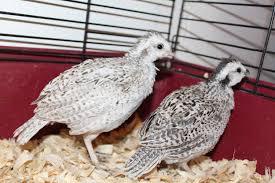 snowflake quail girls or boys backyard chickens