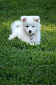 american eskimo dog or puppy for sale in mn the 407 best images about for the love of dog on pinterest