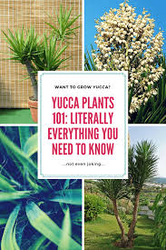 yucca plant care tips u0026 growing advice sproutabl
