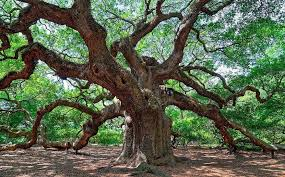 15 of the most remarkable trees in america treehugger