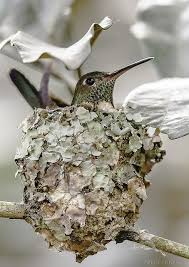 best 25 hummingbird nests ideas on pinterest humming birds