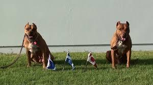america pit bull terrier club the bullpen dog training center dog sports