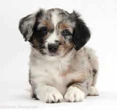 6 week australian shepherd miniature american shepherd puppies wp38451 merle miniature