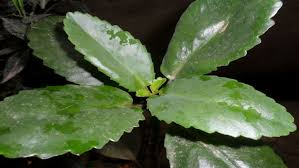 leaf of life miracle leaf get rid of kidney stones naturally