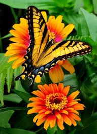 re post eastern tiger swallowtail on zinnie zowie zinnias
