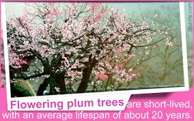 types of flowering plum trees and useful tips for their care