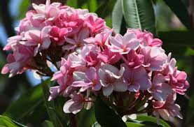 Tropical Fragrant Plants - pink frangipani plumeria rubra unrooted cutting fragrant tropical