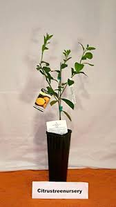 1 2 foot meyer lemon tree in grower s pot baby