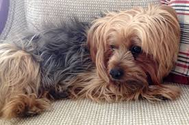 yorkie hair cut chart seizures in yorkie terriers as sign of hypoglycemia