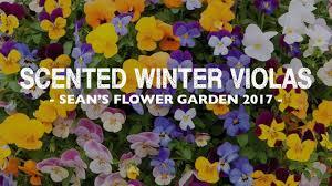 sean u0027s allotment garden s5 e48 scented winter violas youtube