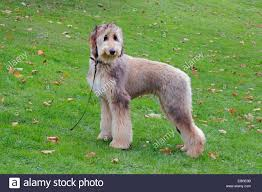 afghan hound owner reviews afghan hounds stock photos u0026 afghan hounds stock images alamy