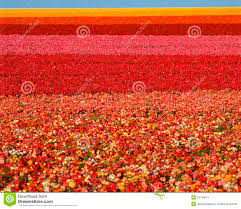 san diego florist ranunculus flower field san diego ca stock image image 23150071