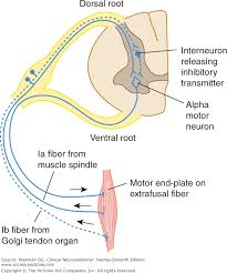 Pain Reflex Pathway Chapter 5 The Spinal Cord Clinical Neuroanatomy 27e
