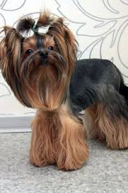 yorkie hairstyles yorkie haircut exles 8 best yorkie haircuts images on pinterest doggies dog cat and