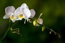 flower orchid how to get orchids to bloom and rebloom