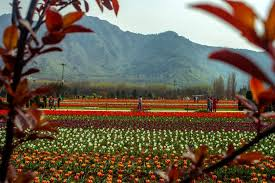 see asia u0027s largest tulip garden in full bloom time com