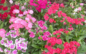 cottage garden flowers plant garden flowers for sale inviting u201a amiable garden flowers