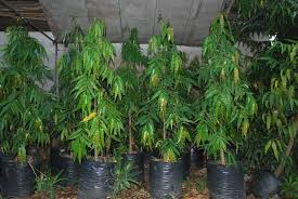 indian tree cainta plant nursery