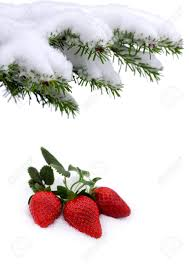 s day strawberries fresh strawberries grow up in the snow s day and winter
