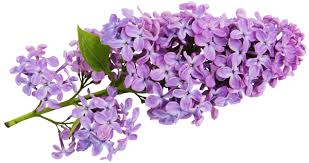 lilac flowers transparent lilac clipart gallery yopriceville high quality