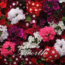 verbena flower discount verbena flower seeds 2017 verbena flower seeds on sale