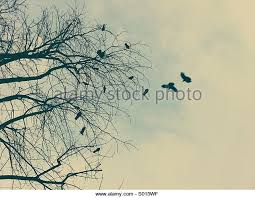 crows and tree stock photos crows and tree stock images alamy