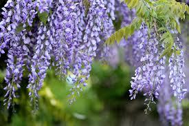 free photo acacia glycine mov wisteria tree flowers max pixel