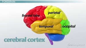 Role Of Brain Stem The Hindbrain Definition Structures U0026 Function Video U0026 Lesson