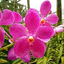 vanda orchids orchids fuchsia magic