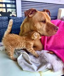 rescue pit bull gets his own kitty loves her like a daughter