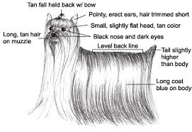 yorkie hair cut chart knowing what an ideal yorkshire terrier looks like dummies