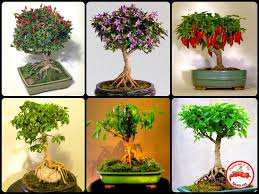 fatalii u0027s growing guide bonsai chiles bonchi