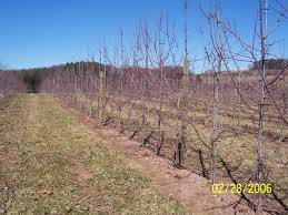 training system for new orchards