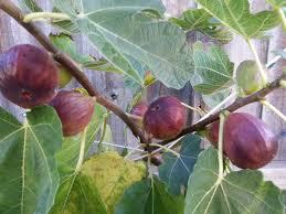 australian native edible plants fig black genoa tree ficus carica