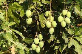 mango simple the free encyclopedia
