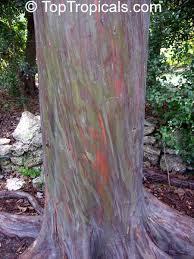 Rainbow Eucalyptus Eucalyptus Deglupta Rainbow Eucalyptus Mindanao Gum Rainbow