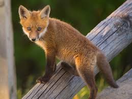 Delaware wildlife images Kit foxes of bombay hook national wildlife refuge jpg