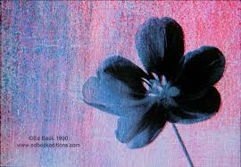 black flower photomechanical ed bock editions