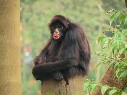 peruvian spider monkey wikipedia