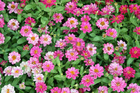 colorful zinnia flowers in the garden top view stock photo