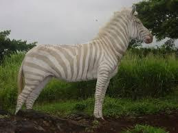 rare tan and white striped zebra dies at hawaiian ranch