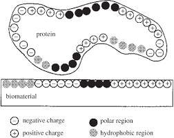a review of protein adsorption on bioceramics interface focus